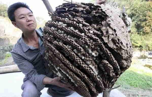 гнезда гигантских шершней