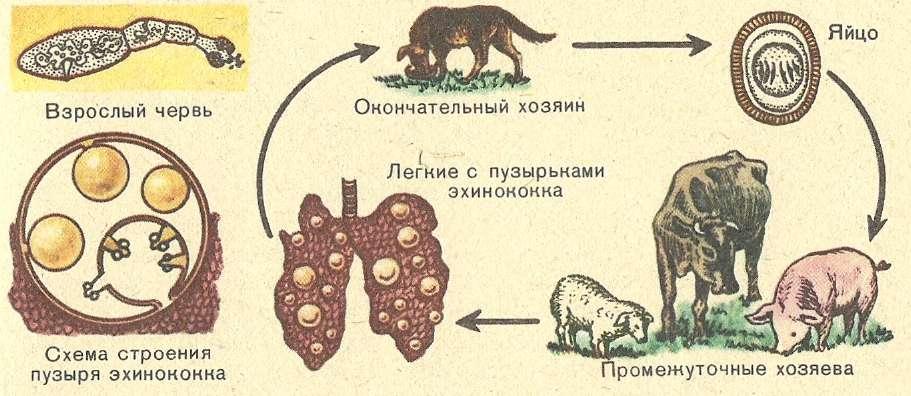 Причины появления и признаки эхинококковых кист в разных органах