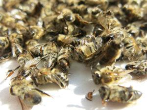 Какие лечебные свойства содержит в себе пчелиный подмор