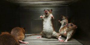 обитание крыс 1