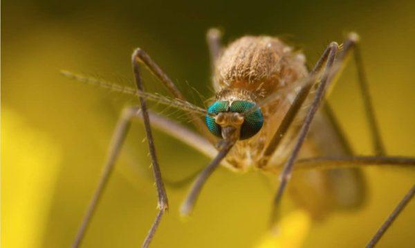 комар увеличенный