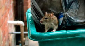 обитание крыс