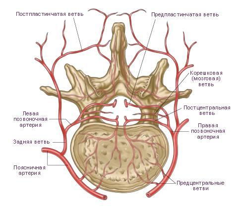 Сосуды спинного мозга