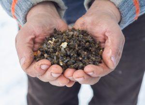 Как применяется пчелиный подмор для мужчин