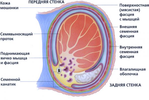 Строение яичка и его оболочки