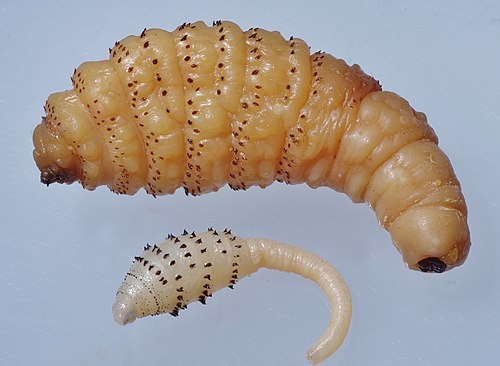 виды личинок
