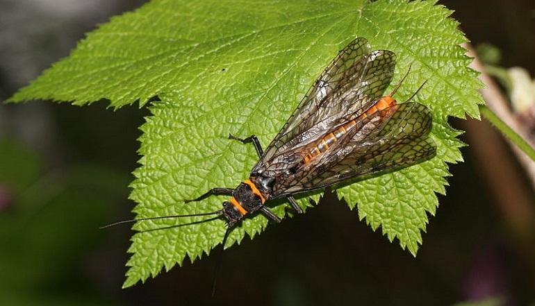 Pteronarcys californica