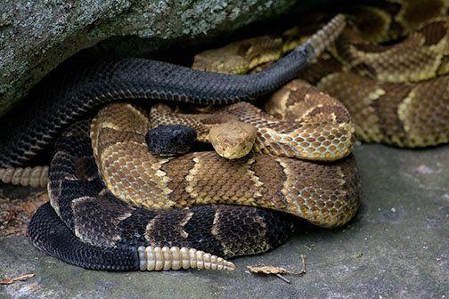 окраска змей