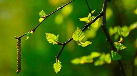 Молодые листья березы