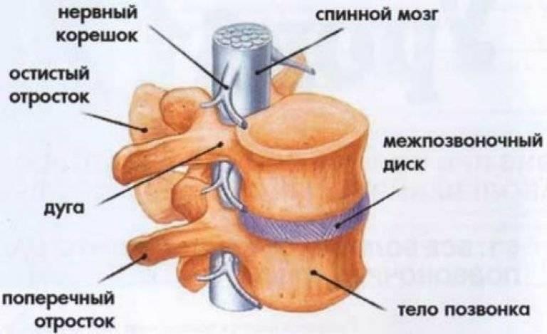 Анатомия позвонков