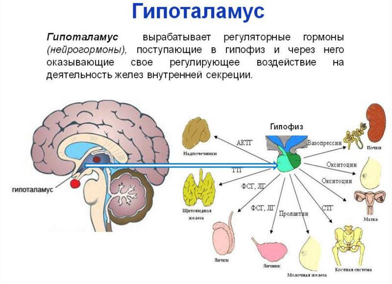 Особенности выработки тестостерона у мужчин и женщин