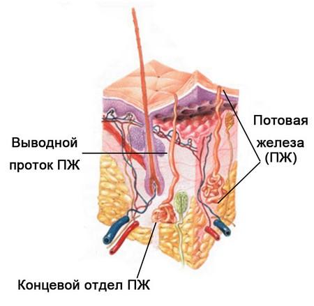 Апокриновые железы выполняют важные функции