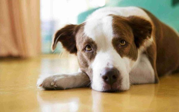 собака после укуса клеща энцефалита