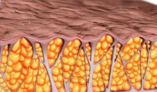 жира - висцеральный и подкожно-жировая клетчатка