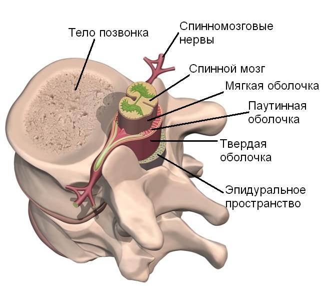 Расположение мозга в позвонках